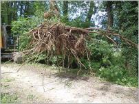 Fig. 8 -Système racinaire avec deux longues racines traçantes pénétrant la digue.