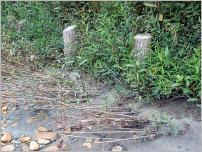 Fig.11 - Piégeage des sédiments fins par les ramilles anti-affouillement, placées ici sous un ouvrage de protection de pied de berge, perpendiculairement au courant.