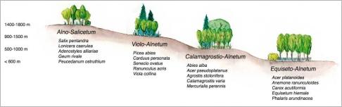 Fig.10 - Zonation longitudinale des aulnaies blanches de l'étage subalpin inférieur des Alpes internes helvétiques jusqu'aux contreforts préalpins. Inspiré de Zoller (1974).