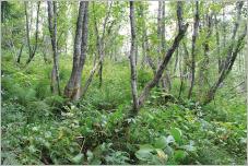 Fig.14- Sous-bois luxuriant d'une aulnaie à érables (Aceri-Alnetum incanae) composé d'espèces de mégaphorbiaies.