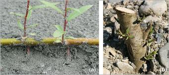 Fig.3 - Exemples de reproduction végétative chez le saule à trois étamines (Salix triandra): (a) ramille transportée par une crue et échouée sur un banc de sable qui, au contact du substrat, forme de nouvelles racines et de nouvelles tiges aériennes; (b) bouture plantée dans un substrat brut.