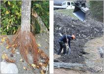 Fig.4 - Certaines espèces présentent une capacité naturelle à former des racines adventives, (a) à l'image de cet aulne blanc (Alnus incana). Cette propriété est particulièrement adaptée pour les techniques où les végétaux sont partiellement enfouis dans le substrat, (b) à l'exemple des lits de plants et plançons.