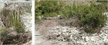 Fig.5 - Deux exemples d'aptitudes à la régénération particulièrement adaptées pour le génie végétal: (a) rejets se formant au niveau de la souche déracinée d'un saule faux daphné (Salix daphnoides); (b) charriage d'alluvions grossières sur un cours d'eau de montagne ayant entraîné l'écorçage et l'ensevelissement partiel des tiges aériennes.