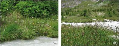 Fig.6 - Modèle naturel de formation herbacée qui semble supporter les contraintes de pied de berge (a) avec notamment la canche gazonnante (Deschampsia cespitosa) en pied de berge, le tussilage (Tussilago farfara) dans la zone d'interface et l'impératoire (Peucedanum ostruthium) plus en retrait; une couverture dense est également formée (b) par ce peuplement de laiches des régions froides (Carex frigida).