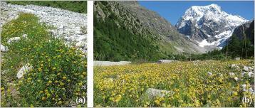 Fig.7 - Les fabacées couvrent densément le sol et sont précieuses pour la colonisation des substrats bruts (fixation d'azote atmosphérique) à l'image (a) du trèfle brun (Trifolium badium), (b) de l'anthyllide alpestre (Anthyllis vulneraria subsp. alpestris) et du trèfle des neiges (Trifolium pratense subsp. nivale).