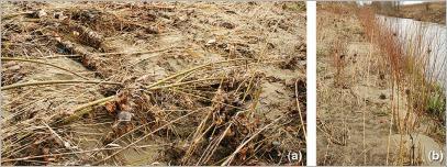 Fig.8 - La souplesse des tiges, notamment celles des saules, permet à la végétation : (a) d'être plaquée au sol lors une crue, favorisant ainsi la couverture du sol ; (b) de se relever après perturbation, induisant un effet de frein suffisant pour favoriser la sédimentation.