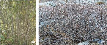 Fig.9 - (a) Le développement des tiges aériennes dans ce fourré de saule pourpre (Salix purpurea) est idéal pour un prélèvement de branches pour fascines et tressage, de boutures et de ramilles; dans de tels cas, le prélèvement se fait par simple recépage à la base des tiges. (b) Chez certaines espèces subalpines, le faible diamètre des branches ainsi que leur forme souvent tortueuse rendent les prélèvements de certains types de fourniture difficile, à l'exemple ici du saule de Suisse (Salix helvetica).
