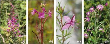 Fig. 10 - Quatre espèces d'épilobes particulièrement adaptées pour le génie végétal en rivière de montagne : (a) épilobe à feuilles étroites (Epilobium angustifolium) ; (b) épilobe à feuilles de romarin (E. dodonaei) ; (c) épilobe de Fleischer (E. fleischeri) ; (d) épilobe hirsute (E.hirsutum).