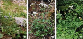 Fig. 14 - Trois espèces de valérianes adaptées pour le génie végétal en rivière de montagne : (a) valériane des montagnes (Valeriana montana), typique des éboulis calcaires subalpins ; (b) valériane triséquée (V. tripteris), se développant en sous-bois d'une forêt de conifères à l'étage subalpin ; (c) valériane officinale (V. officinalis), typique des lisières fraîches montagnardes.