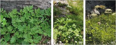 Fig. 15 - Trois espèces d'ombellifères particulièrement adaptées pour le génie végétal en montagne : (a) cerfeuil hirsute (Chaerophyllum hirsutum) ; (b) impératoire (Peucedanum ostruthium) ; (c) laser à larges feuilles (Laserpitium latifolium).