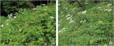 Fig. 16 - Habitat de deux espèces d'ombellifères : (a) cerfeuil hirsute au sein d'une mégaphorbiaie hygrophile montagnarde (Chaerophyllo-Ranunculetum) ; (b) laser à larges feuilles au sein d'une pelouse fraîche montagnarde (Laserpitio-Camagrostietum).