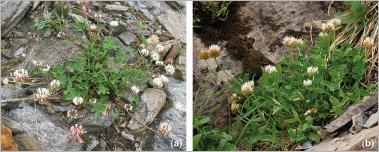 Fig. 17 - Deux trèfles pionniers particulièrement adaptés pour le génie végétal en montagne : (a) trèfle pâle (Trifolium pallescens) ; (b) trèfle de Thal (Trifolium thalii).