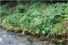 Fig. 18 - Mégaphorbiaie composée de Petasites albus, P. hybridus, Adenostyles alliariae et Valeriana officinalis couvrant efficacement le sol et se développant naturellement sur la berge d'un cours d'eau de montagne au-dessus d'une assise de blocs décimétriques.