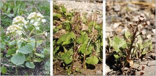 Fig. 2 - Trois espèces de pétasites indigènes adaptées pour le génie végétal en rivière de montagne : (a) pétasite blanc (Petasites albus) ; (b) pétasite hybride (P. hybridus) ; (c) pétasite paradoxal (P. paradoxus).