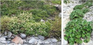 Fig. 3 - Situation de deux espèces de pétasites en bordure de cours d'eau de montagne sur substrat frais : (a) P. albus; (b) P. paradoxus.