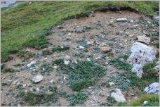 Fig. 6 - Situation typique du tussilage sur loupe de glissement (Poo-Tussilaginetum).