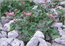 Fig. 8 - Situation typique de l'adénostyle glabre (Adenostyles alpina) au sein d'un éboulis calcaire frais (Arabidion alpinae).