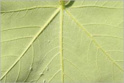 Fig.5- Feuille vert blanchâtre au revers.