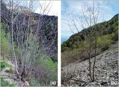 Fig.8- L'érable sycomore est une espèce dotée d'une forte capacité de régénération (a), capable de se développer sur des terrains à forte pente régulièrement perturbés (b).