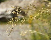 Fig.4- Panicule généralement étalée à la floraison.