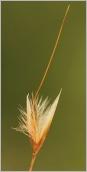 Fig.6- Glumelle extérieure couverte de longs poils blancs