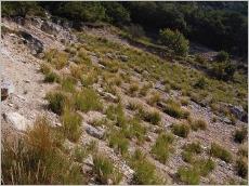 Fig.7- Situation typique sur éboulis calcaires thermophiles (recolonisation de carrière).