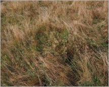 Fig.7- Situation typique dans une pelouse d'altitude avec Nardus stricta.