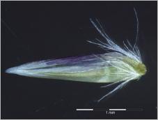 Fig.6- Base de la glumelle entourée d'un faisceau de poils atteignant la moitié de la longueur de celle-ci.