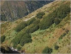 Fig.7- Situation typique en association avec les brousses subalpines fraîches à aulne vert.