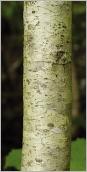Fig.2- Écorce lisse, gris clair à l'état jeune.