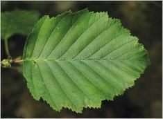 Fig.4- Feuille à face supérieure vert foncé.