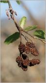 Fig.7- Chatons femelles et strobiles de l'année précédente.