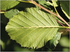 Fig.5- Feuille à nervures pubescentes au revers.