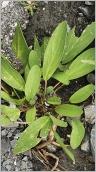 Fig.3- Feuilles souvent unifoliées (subsp. alpestris).