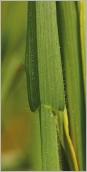 Fig.2 - Feuille présentant des «traces de ski» et des poils étalés.
