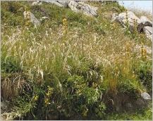 Fig.8- Situation typique dans une pelouse montagnarde  (subsp. laevigata).