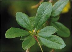 Fig.4- Bouquet de feuilles obovales à lancéolées.