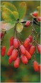 Fig.6- Baies allongées, rouges à maturité.