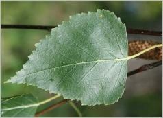 Fig.4- Feuille verte et luisante sur le dessus.