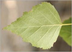 Fig.5- Feuille vert clair à glauque au revers.