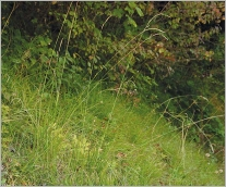 Fig.1- Espèce sociale formant des gazons lâches.