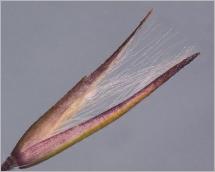 Fig.6- Glumelle inférieure munie, à sa base, de longs poils égalant les glumes.