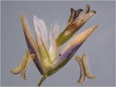 Fig.6- Épillet généralement violacé.