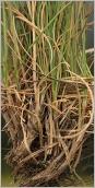 Fig.2- Gaines basilaires ne se décomposant pas en réseau de fibres (subsp. laevigata).
