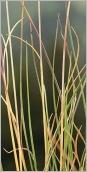 Fig.3- Feuilles glauques et arquées (subsp. laevigata).