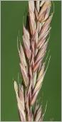 Fig.5- Épillets violacés à glumelles munies de longues arêtes (subsp. laevigata).