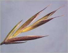 Fig.6- Glumelles munies de longues arêtes.