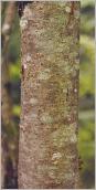 Fig.2- Écorce du tronc grise à beige.
