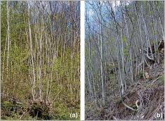 Fig.7- Deux aptitudes permettant au frêne de se développer sur des terrains instables à forte pente: (a) rejets de souche et (b)souplesse des tiges aériennes.