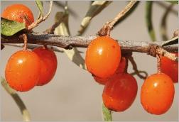 Fig.6- Baies orange globuleuses.